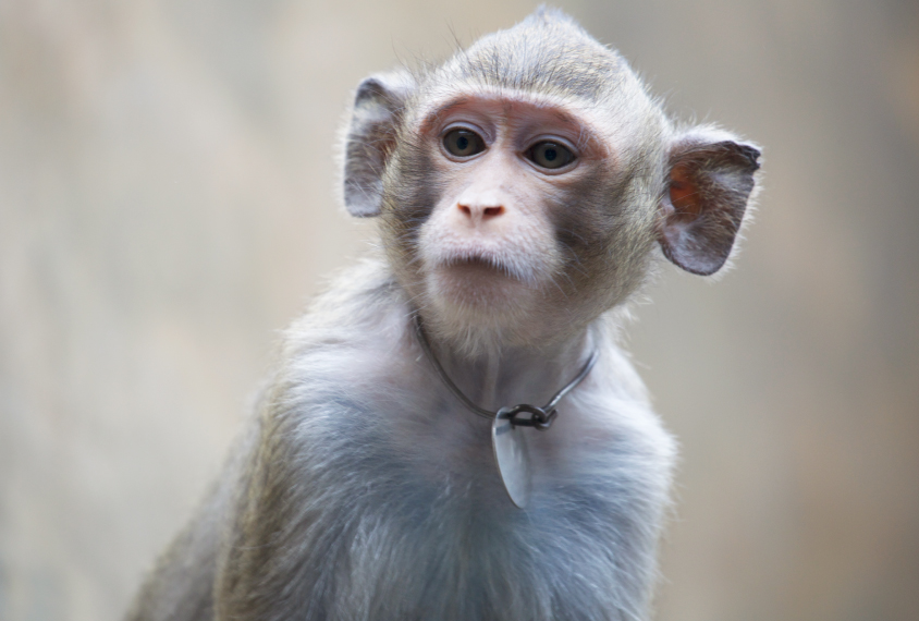 Chinese scientists tackle evolution question, add genes of human brain to monkeys