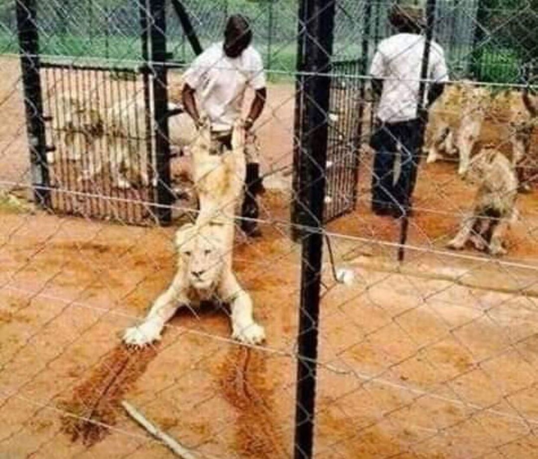 Escaped lion at Kano zoo cage, captured