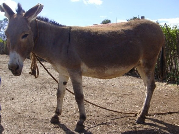 Donkeys used to convey pregnant women to hospitals in Bauchi